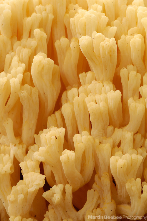 Close-up of a coral fungus (Ramaria sp.)  in Kruse Rhododendron State Reserve, California