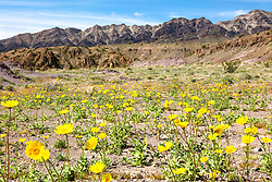"""Death Valley Wildflowers 1"" - Photograph of yellow wildflowers in Death Valley, near the Ibex Dunes area."