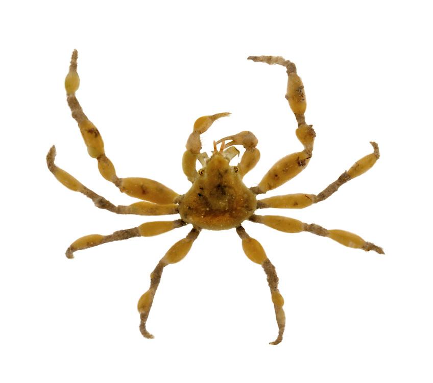 Scorpion Spider Crab - Inachus dorsettensis