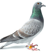 Racing homing pigeons on white no background. Photo by David Stephenson