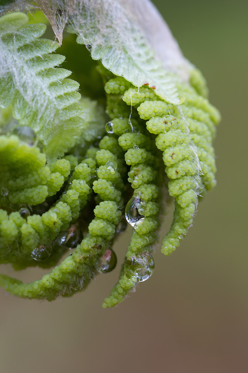 Unfolding fern covered with raindrops in the spring.