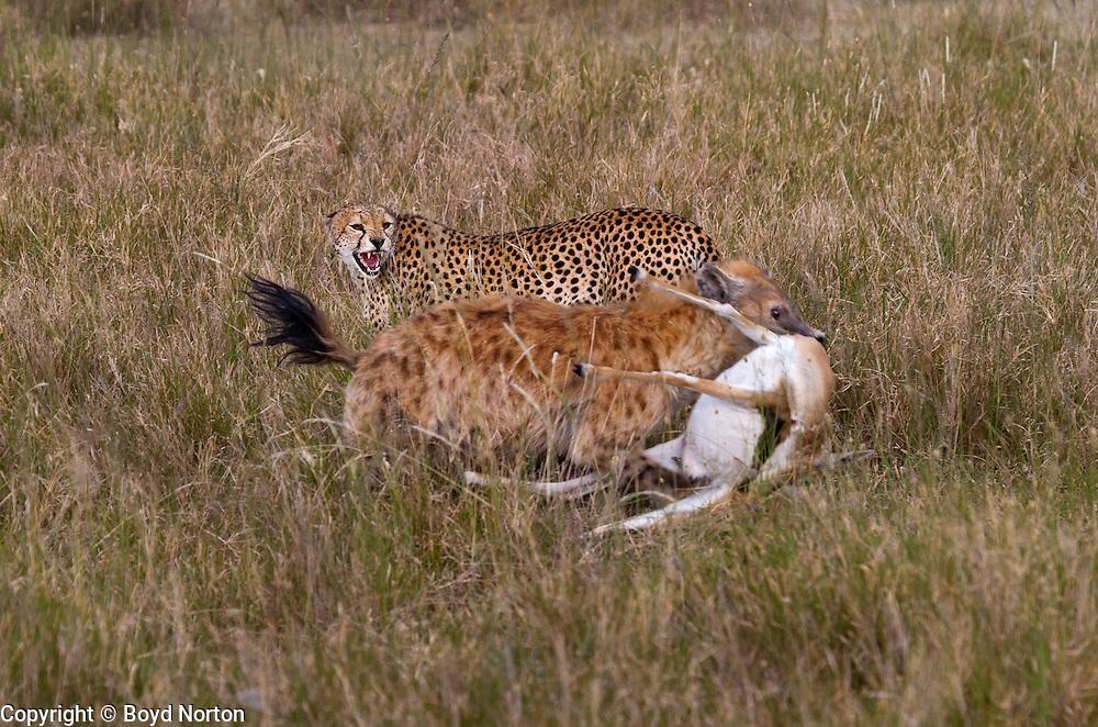 A hyena steals a cheetah's kill, a Thomson's gazelle, Serengeti National Park, Tanzania.