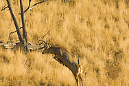 Mule deer buck (Odocoileus hemionus)jumps barbed wire fence west of Livingston Montana<br /> PROPERTY RELEASED