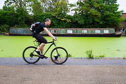 Blue-green algae, or cyanobacteria, covers the surface of the Grand Union Canal near Ladbroke Grove in London. The algae blooms when the weather is warm and can starve the water of oxygen and is toxic. London, July 13 2018.