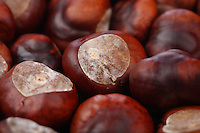 CheChestnut on wooden background - studio shot