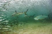 Blackt tip Sharks, Carcharhinus limbatus, and Tarpon, Megalops atlanticus, hunt Silver Mullet, Mugil curema, during the fall mullet migration along Florida's east coast.