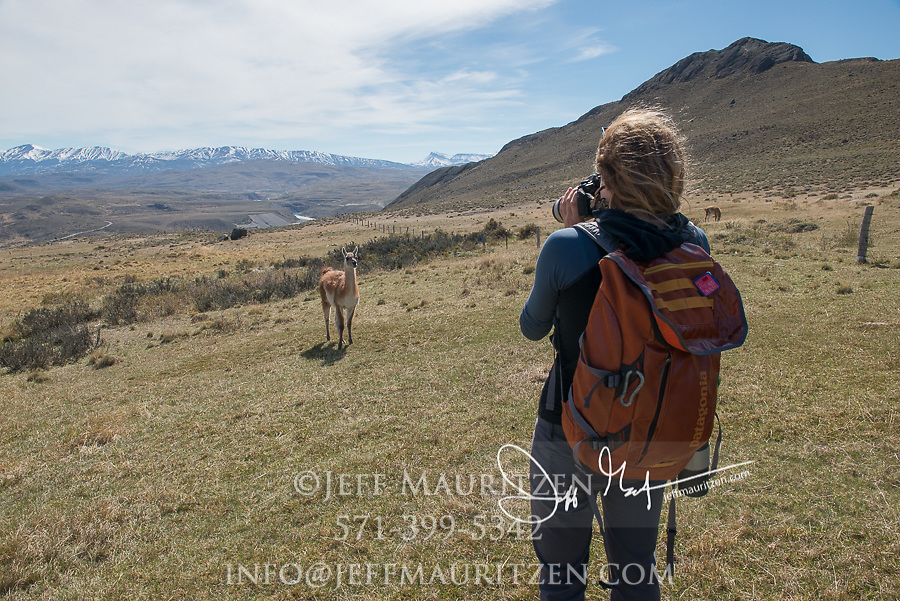 A female hiker takes a photo of a Guanaco in Torres del Paine National Park, Chile.