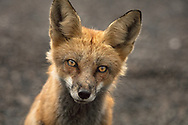 In Your Eyes - Red Fox - Mt. Evans, CO