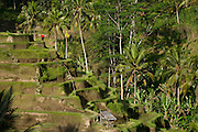 Rice paddies in Ubud, Bali, Indonesia
