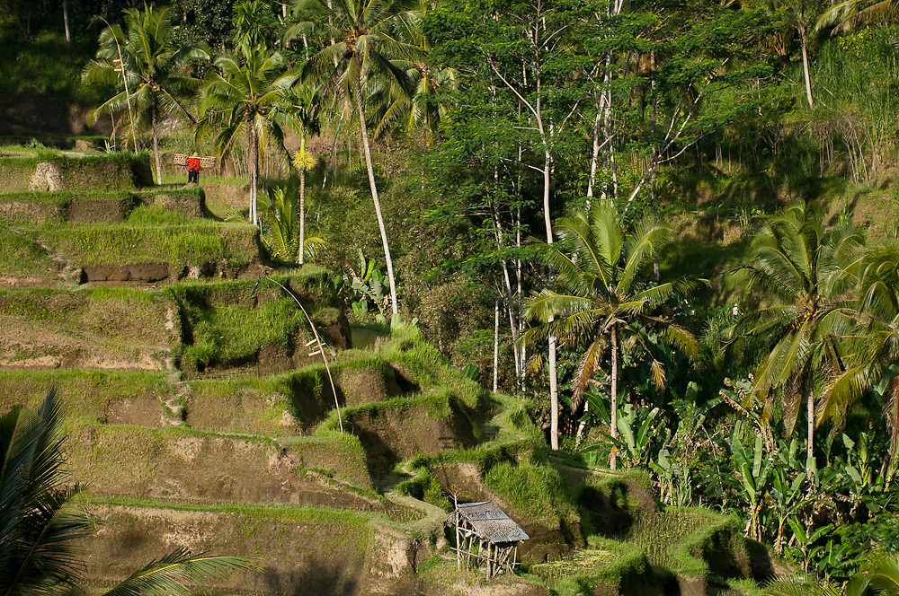 Rice paddies in Ubud, Bali, Indonesia