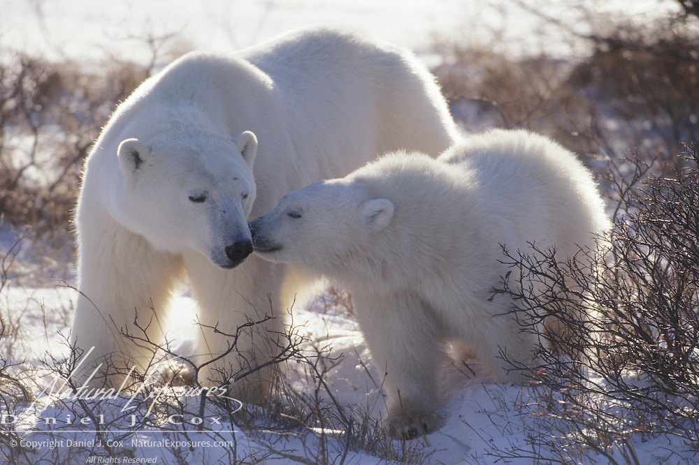 "Polar Bear mother and cub in willows ""kissing"". Churchill, Manitoba, Canada"