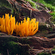 Yellow Stagshorn, CAlocera viscosa against a tree trunk with green moss in the scenery.