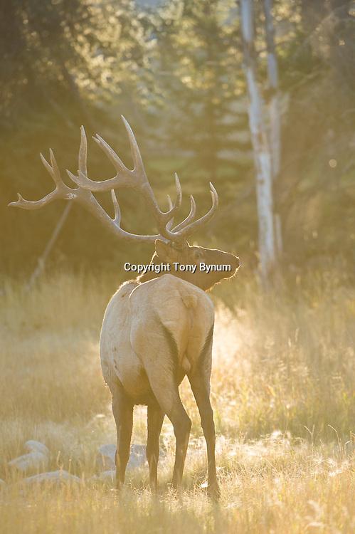 elk back lit