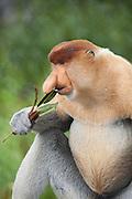 Proboscis Monkey<br /> Nasalis larvatus<br /> Adult male eating mangrove leaves<br /> Sabah, Malaysia