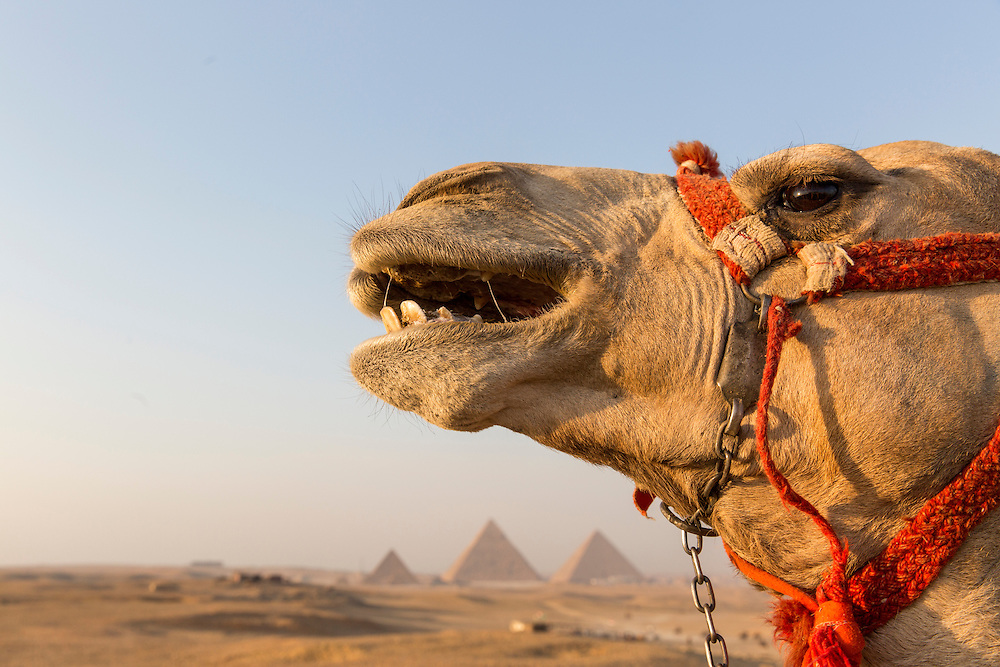 Egypt, Cairo, Guide leans into kiss tourists' camel standing in front of Great Pyramid of Giza in Sahara Desert at sunset