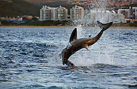 Great white shark breaching on decoy in Mossel Bay, South Africa