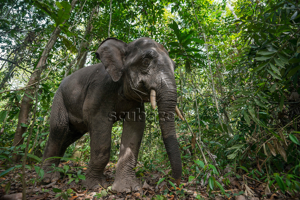 A Bornean Pygmy Elephant, Elephas maximus, walking close by in the forest, Kinabatangan River, Sabah, Malaysia.