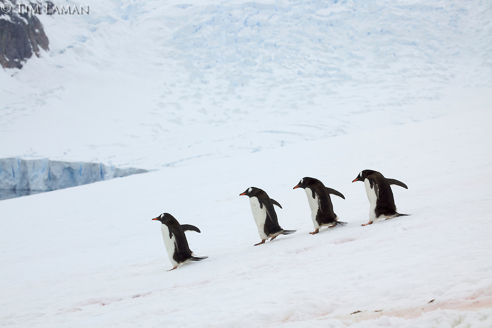 Gentoo Penguin (Pygoscelis papua) descend snowfield from breeding colony to the sea.  Danko Island, Antarctic Peninsula.