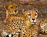 Cheetahs, Memphis Zoo
