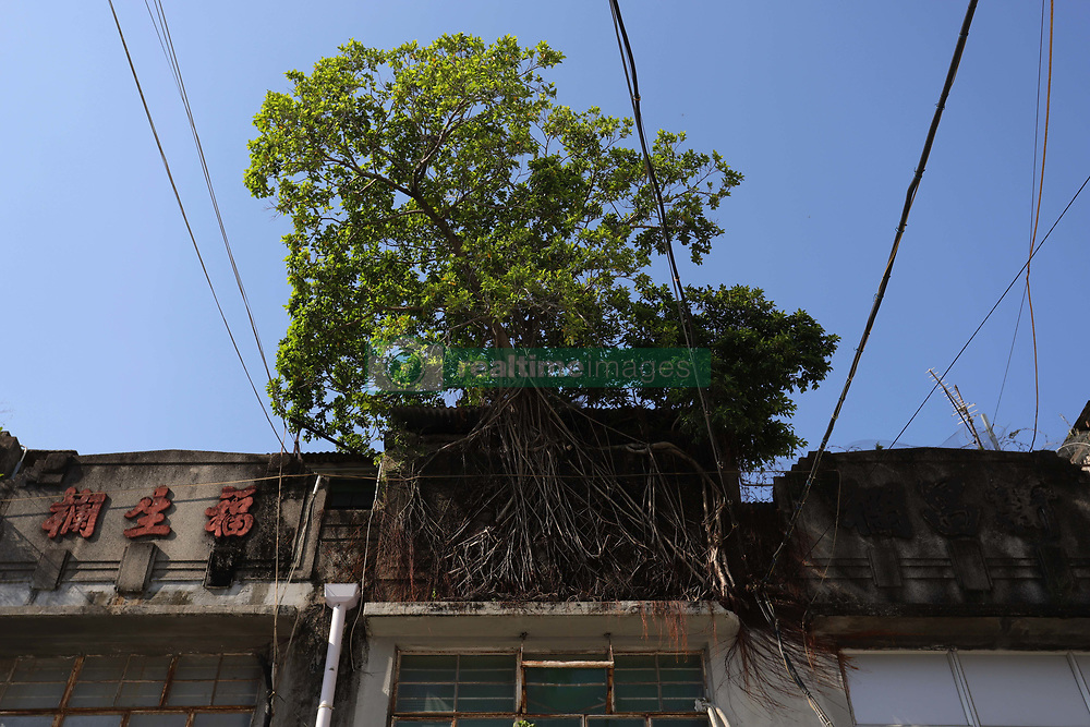 October 5, 2018 - Hong Kong, China - A Chinese Banyan Tree (Ficus Microcarpa) is seen here rooted down, snatching onto the wall of old building at historical landmark, Fruits Wholesale Market at Yau Ma Tei Kowloon. Strange scene of a tree surviving on the buildings can be seen in few locations in Hong Kong. (Credit Image: © Liau Chung-ren/ZUMA Wire)