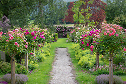 Avenue of standard roses including Rosa 'Boscobel' syn. 'Auscousin', R. Young Lycidas = 'Ausvibrant' and Rosa 'Port Sunlight' syn. 'Auslofty' AGM with Rosa 'Constance Spry' AGM in the distance
