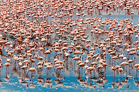 Tens of thousands of pink Lesser Flamingos, Kamfers Dam, near Kimberley, Northern Cape Province, South Africa seen from the luxury Rovos Rail train going from Pretoria to Cape Town.