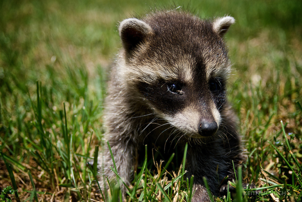 Cute baby raccoon abandoned and foraging in the grass