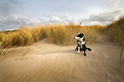 A young border collie in the sand dunes at the Oregon Coast