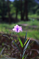 A bright pink flower in the grounds of My Son Sanctuary, Qang Nam Province, Vietnam