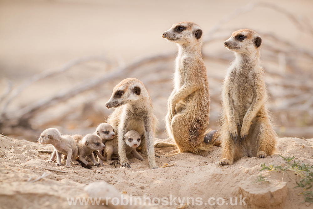 Three adult Meerkats babysitting four pups on their first day out of the burrow.