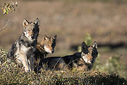 Wolf, Canis lupus, pups rest on autumn tundra, Grant Creek pack, Denali National Park, Alaska, horizontal, wild