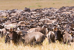 Herd of wildebeest at Masai Mara (also spelled Maasai Mara), a large park reserve in south-western Kenya. The wildebeest, also called the Gnu, is an antelope of the genus Connochaetes. / Gnu na Reserva Nacional Masai Mara, o mais famoso parque nacional do Quenia,  situado no enorme Vale do Rift.