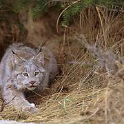 Canada Lynx, (Lynx canadensis) Montana. Hunting in underbrush.  Captive Animal.