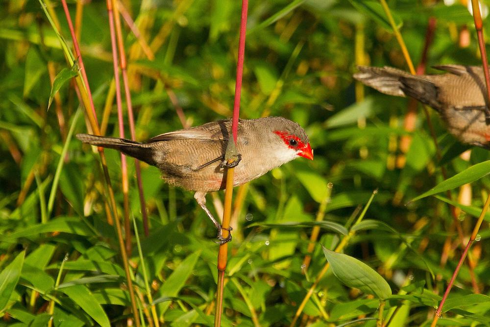 Common Waxbill photo Hawaii