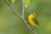 Blue-winged Warbler, Vermivora cyanoptera, male, Lapeer County, Michigan