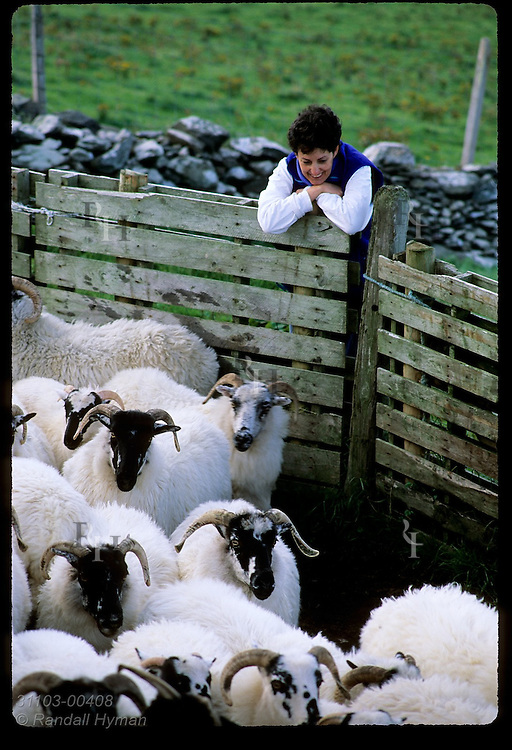 American woman watches flock of sheep in pen at Dunmore Head near the tip of the Dingle Peninsula in southwest Ireland.