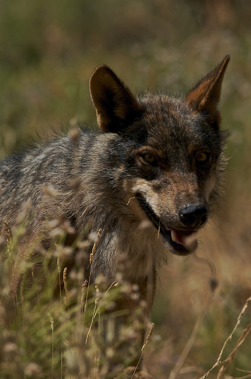 Iberian Wolf head shot(c)