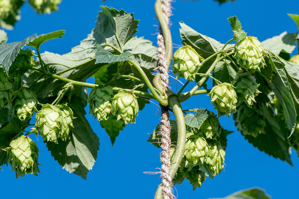 A cluster of hop, Humulus lupulus, flowers on a vine