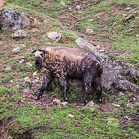 Takin, Thimpu, Bhutan <br />