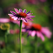 """Purple Coneflower Garden""<br /> <br /> Lovely Purple Coneflower in the Matthaei Botanical Garden!!<br /> <br /> Flowers and Wildflowers by Rachel Cohen"