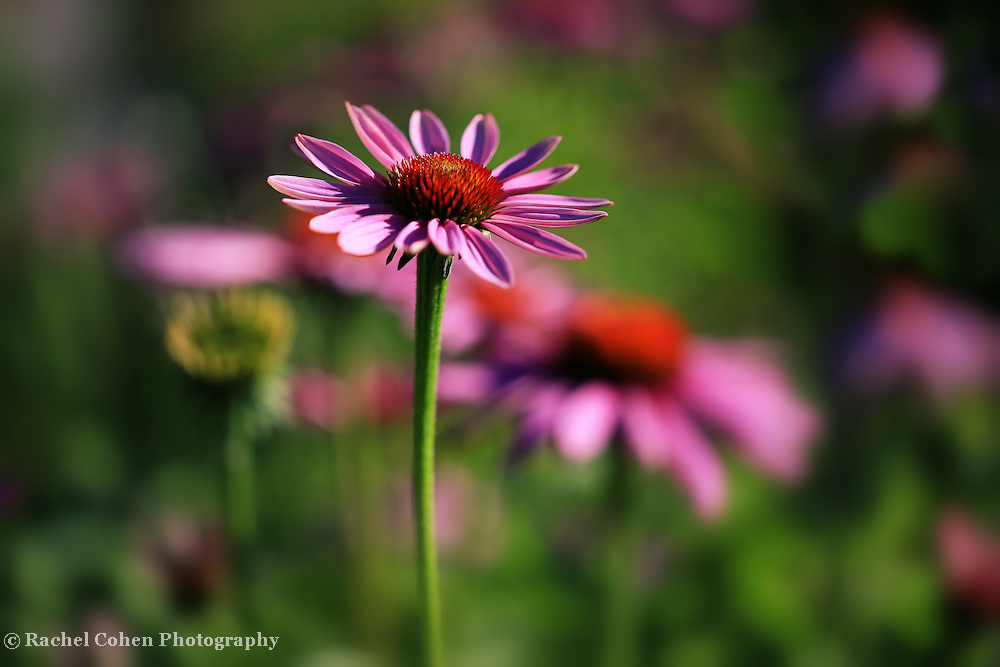 &quot;Purple Coneflower Garden&quot;<br />
