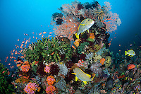Sweetlips' seek protection in the lee of a healthy coral head<br /> <br /> Shot in Indonesia