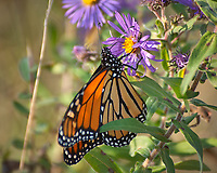 Monarch Butterfly Feeding on a Purple Wildflower. Image taken with a Nikon D2xs camera and 80-400 mm telephoto zoom lens (ISO 200, 400 mm, f/5.6, 1/160 sec).