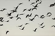 Kranich (Grus grus), überfliegen das Wildtierland