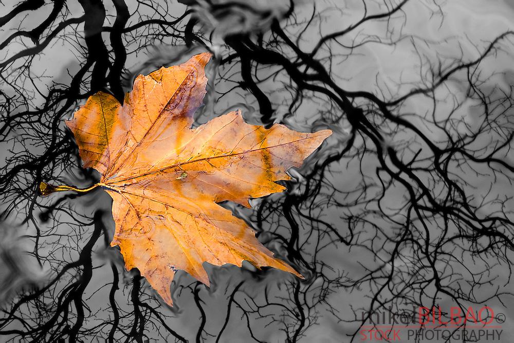 fallen leaf in autumn.<br /> Ason river.Cantabria, Spain, Europe.