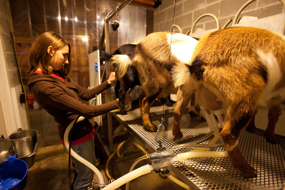 Amelia Caldwell doing the evening milking of the Nigerian Dwarf Goats.