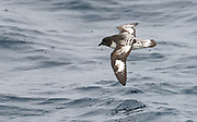 Cape petrel (Daption capense) from the Drake Passage, close to the Antarctic Peninsula