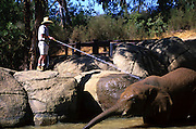 An Oakland Zoo employee sprays down a brown elephant with a hose. 1999