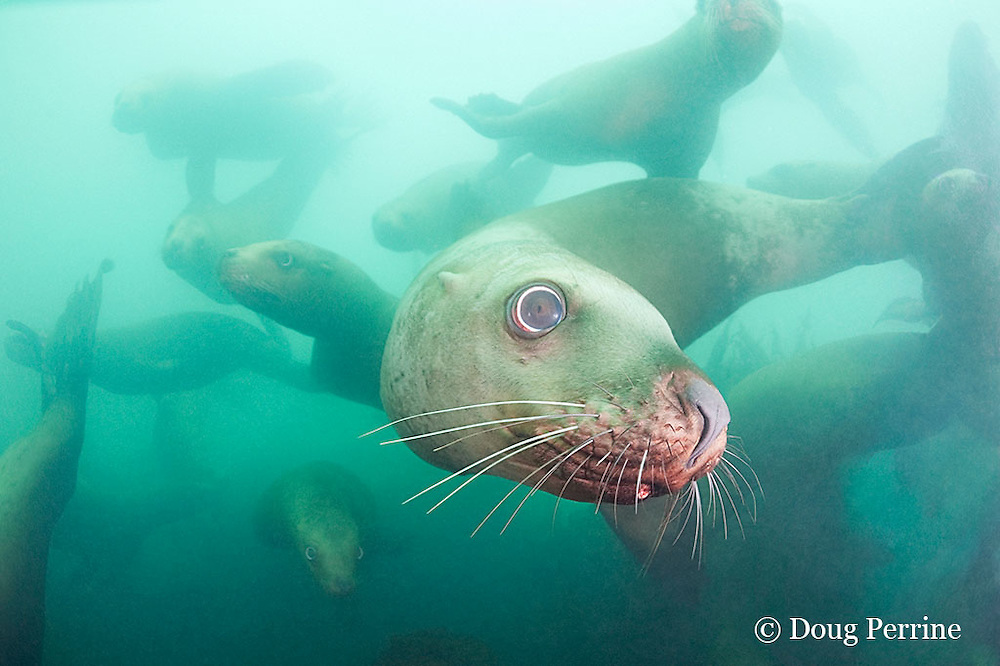 Steller's sea lions, or Steller sea lion, or northern sea lion, Eumetopias jubatus (an Endangered Species in the western part of its range, and Threatened in the eastern portion), Glacier Island, Columbia Bay, Alaska, United States of America ( Prince William Sound )