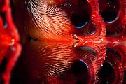 Kiemen des Fangschreckenkrebses (Odontodactylus scyllarus) | Peacock mantis shrimp (Odontodactylus scyllarus)